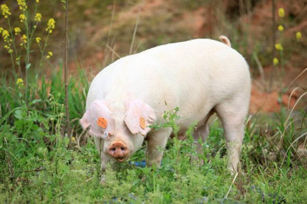 生猪多少钱一斤?2018年全国各地区生猪价格行情分析