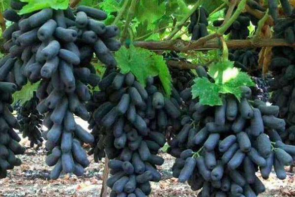 蓝宝石葡萄多少钱一斤?种植前景怎样?(附蓝宝石高产管理技术)