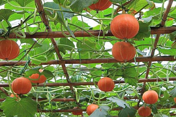 南瓜多少钱一斤?种植前景如何?南瓜的功能与作用了解一下吧