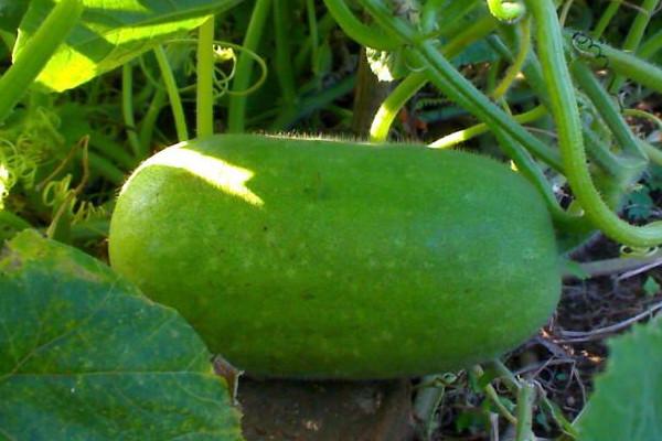 冬瓜市场前景如何?多少钱一斤?冬瓜功效与作用有哪些?