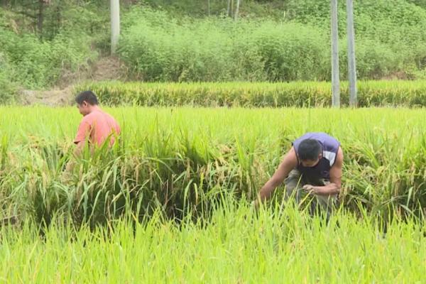 """退伍军人依靠自然生态养殖,在稻田里淘出致富""""宝贝""""!"""