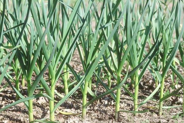 大蒜种植如何长出大蒜头?大蒜高产追肥技巧