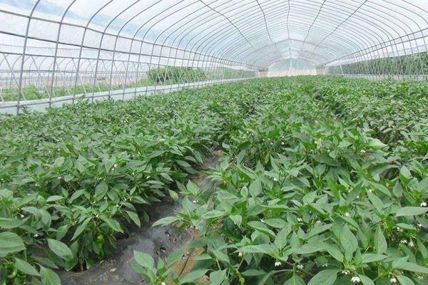 大棚蔬菜为什么容易产生病虫害?如何防治大棚内的病虫害?