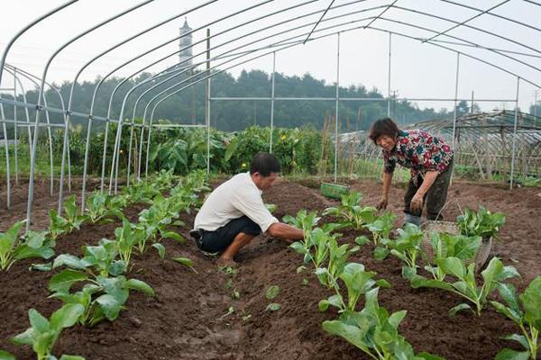 蔬菜移栽要注意什么?蔬菜移栽前后管理要点