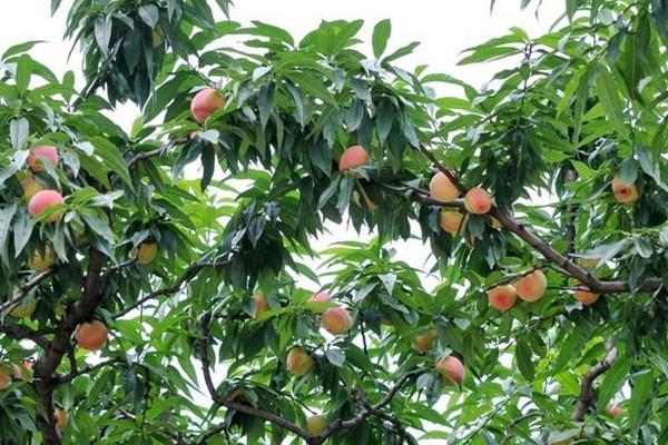 桃树人工辅助授粉的方法介绍