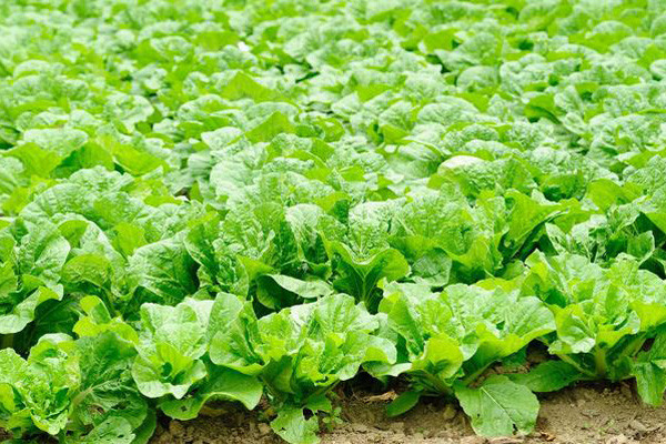 白菜种植如何做能抗虫抗病?白菜种植高产管理技巧介绍