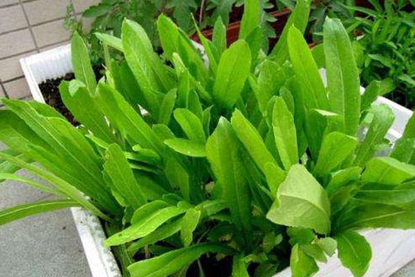 秋天阳台可以哪些蔬菜?这7种蔬菜适合阳台种,且30天就能吃!