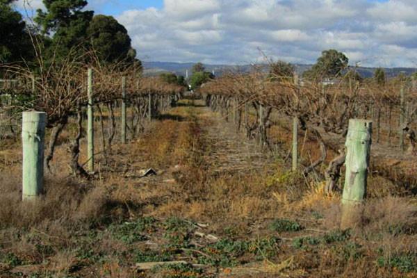 防止葡萄树冬天冻死要怎么做?你可以试试这三个管理关键点