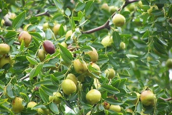 南酸枣高效栽培技术及病虫害防治要点