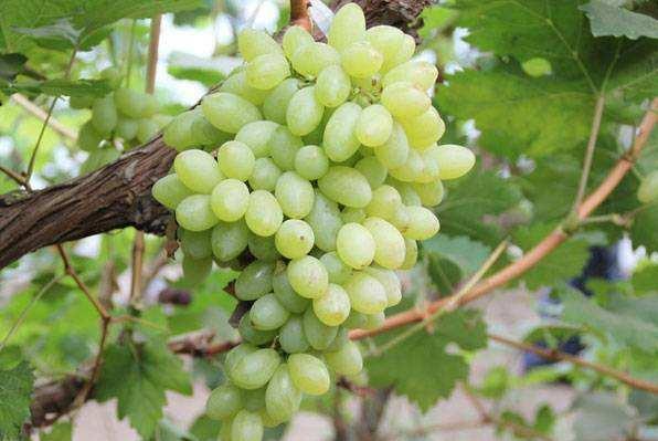锦州地区露地葡萄高产栽培管理技术