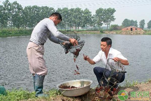 小龙虾养殖池塘管理