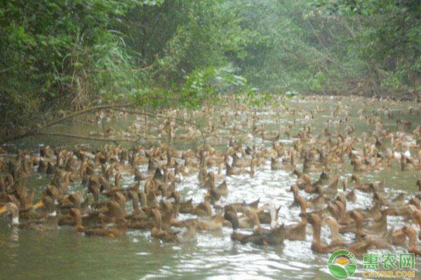 鸭瘟病怎样防治?鸭瘟病疫苗免疫、消毒治疗等要点讲解