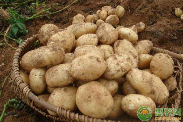 南平市费乌瑞引种表现及高效栽培技术