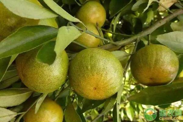 十月份柑橘管理技术要点