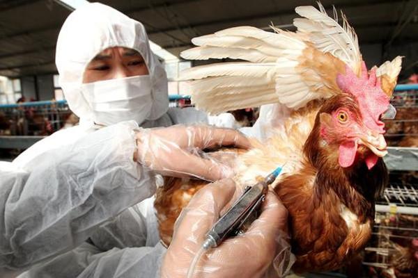 """""""湖南凤凰禽流感""""危害大吗?如何防治?市面上的鸡还能吃吗?"""