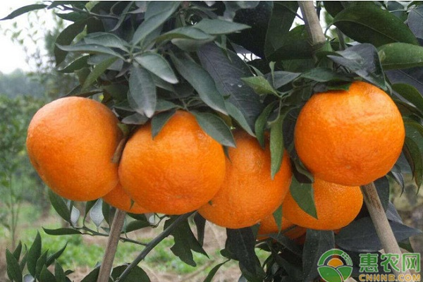 无公害柑橘常见病虫害及其防治技术