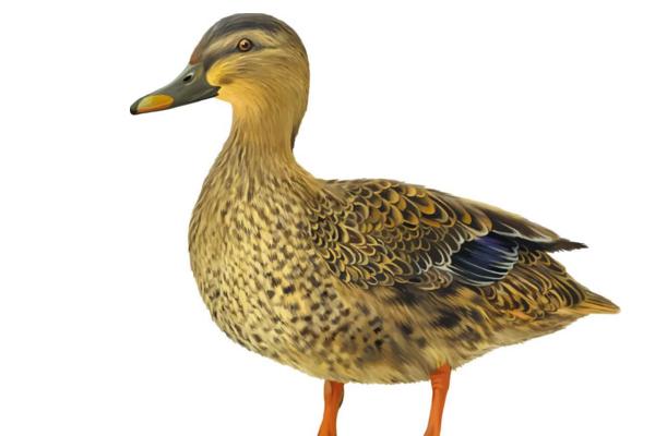 冬季家禽禽流感疫情高发期,我们如何预防感染禽流感?