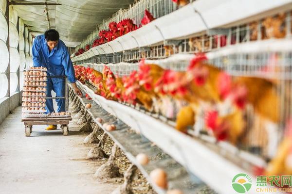 秋冬养鸡场管理