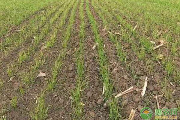 小麦苗枯黄