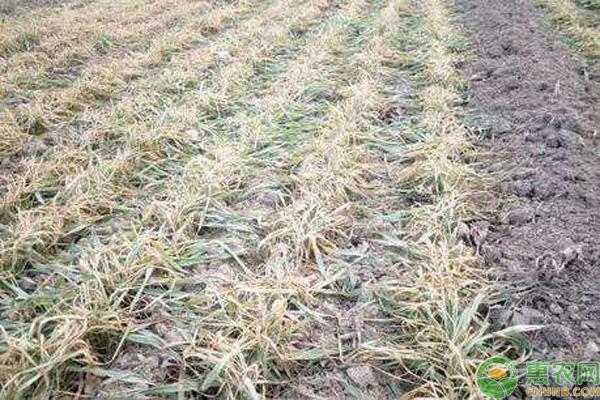 小麦苗枯死