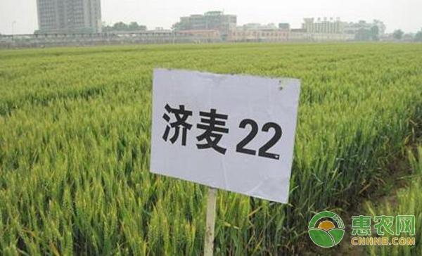 河南小麦品种