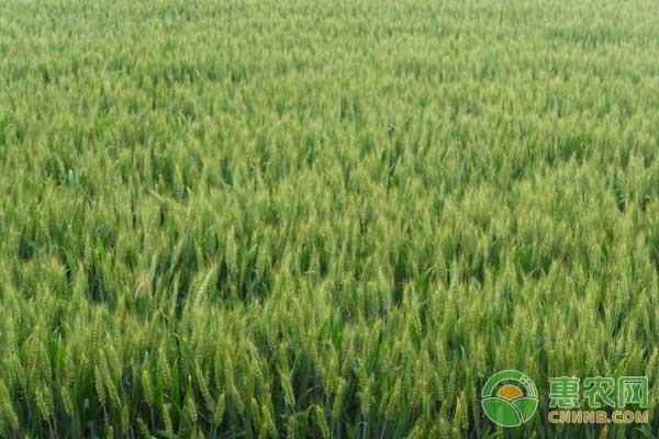 小麦高产种植管理技术要点