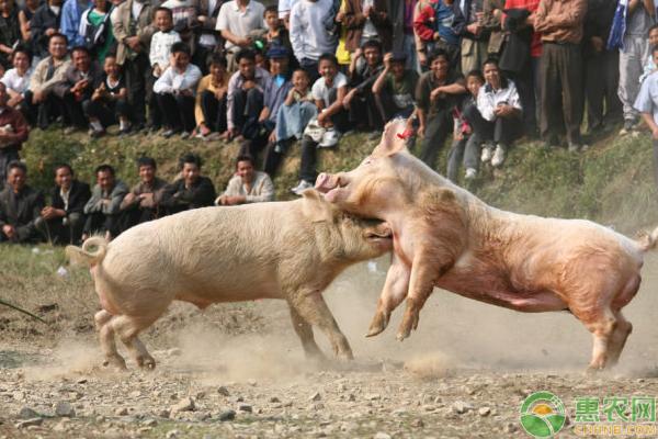 猪打架是为什么?怎么防治?需这样饲养管理及预防