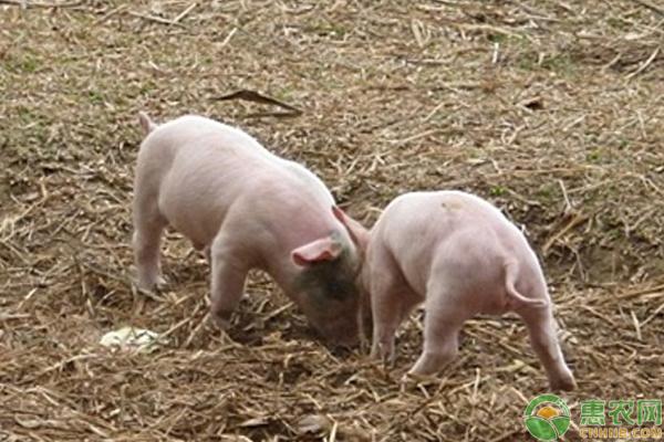 猪打架是为什么?