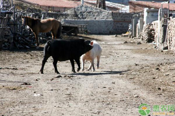 猪打架是为什么需这样饲养管理及预防