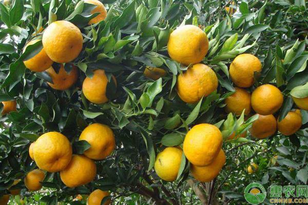 柑橘园病害预防措施