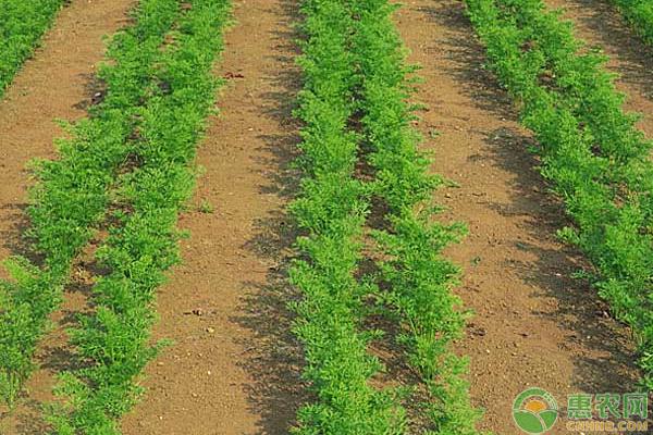胡萝卜种植想要高产,需这样进行水肥管理