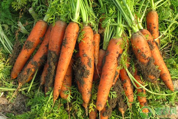 胡萝卜种植想要高产