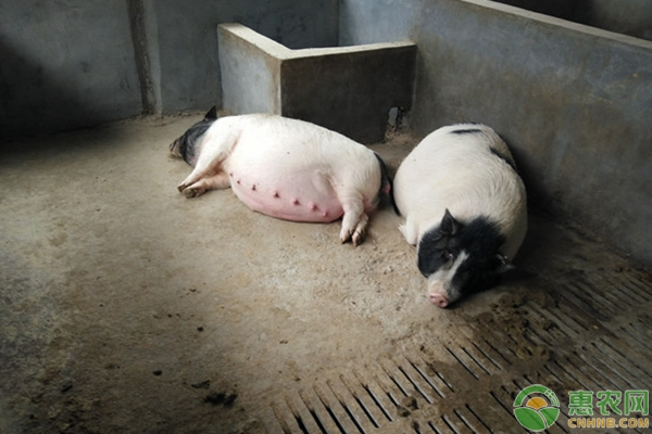 养猪病危及治疗的三种情况