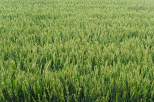 今年包1000亩地种小麦怎么样?小麦种植成本及利润分析