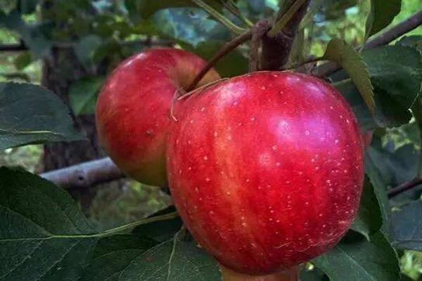 今日苹果多少钱一斤?2018年各地苹果市场收购价格