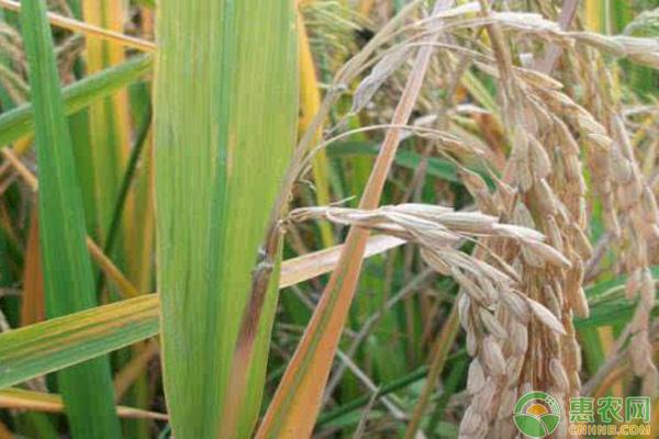 水稻出现白穗和空瘪粒怎么办 附防治方法