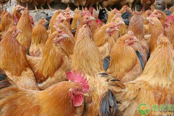 养鸡怎么提高效益?需注意这4大细节