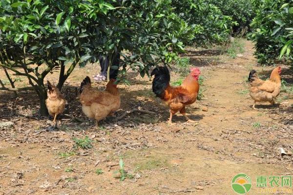 养鸡提高效益需注意这4大细节