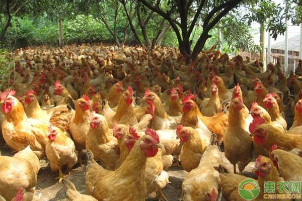 养鸡怎么提高效益?