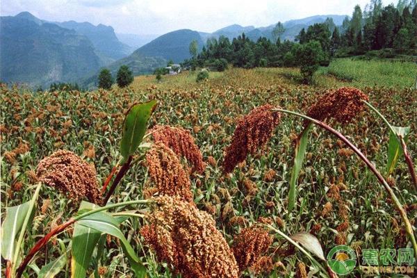 高粱高产种植管理要点