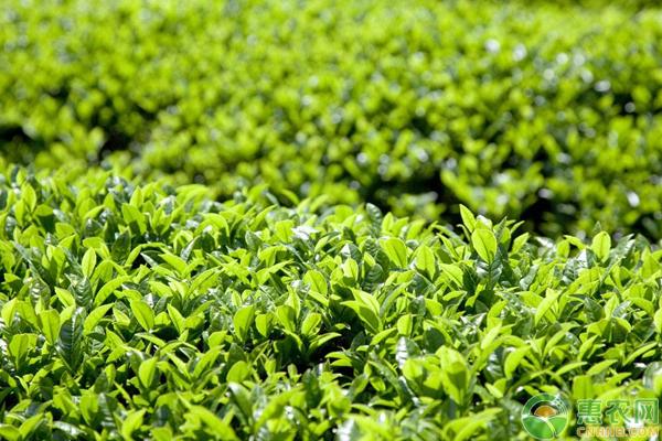 茶叶良种高产种植技术