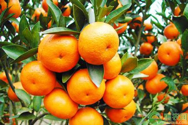 橘子种植管理技术要点