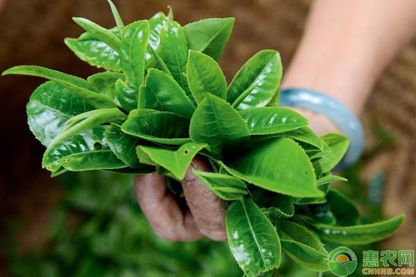 茶叶良种高产种植技术要点