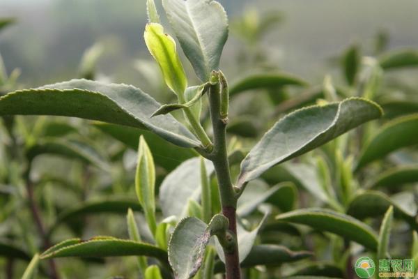 茶树耐荫特性