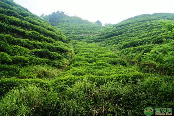 茶树生理特性