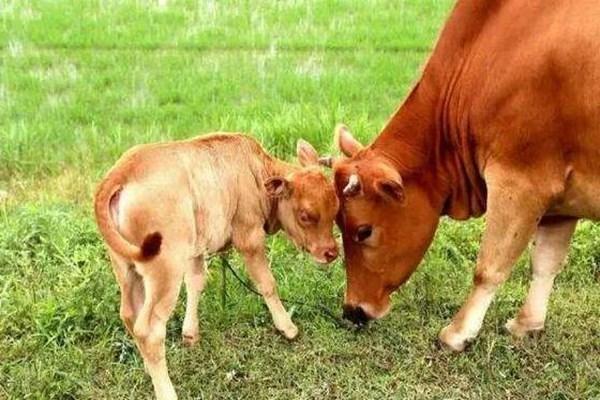 买牛注意这几点,才不会多花冤枉钱!养牛户必看!