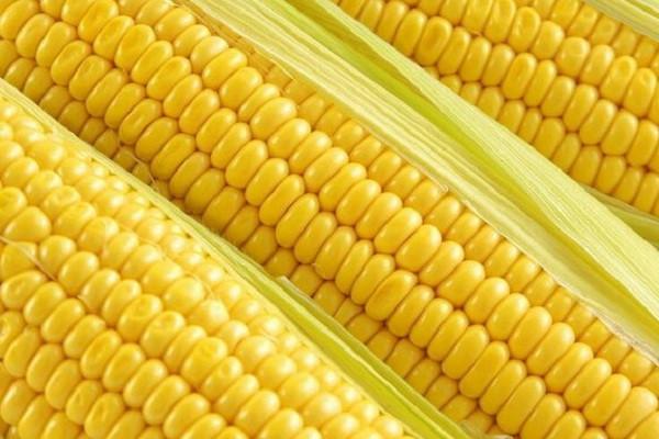 今天玉米价格多少钱一斤?2018年各地玉米最新收购价行情