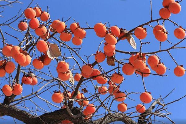 老农民在摘柿子时,为何要在柿子树顶留几个?