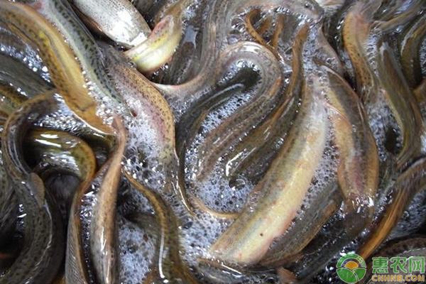 归化泥鳅含义繁殖的人工及注意事项台湾法放样的方法图片