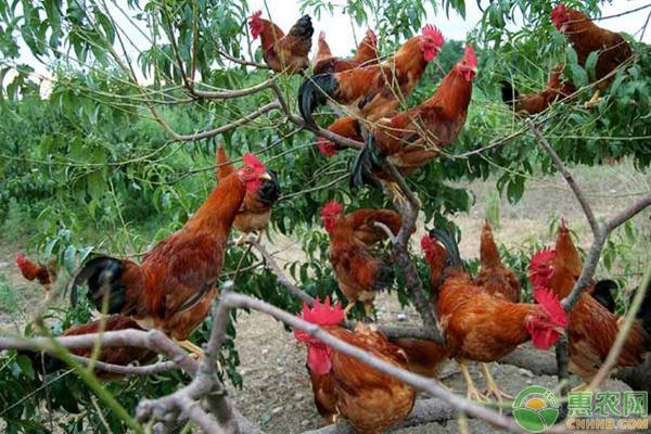 冬季散养鸡的养殖重点